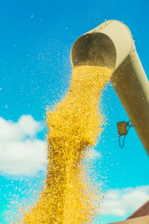 corns of wheat pouring from pipe photo