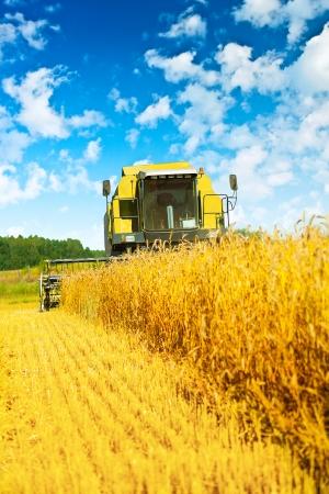 combine harvester: cosechadora en el trabajo
