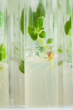 macroshot: Macroshot  small plant of potato in laboratory tube