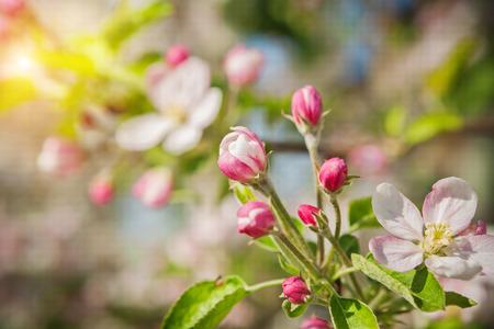 blossom tree: apple tree blossom