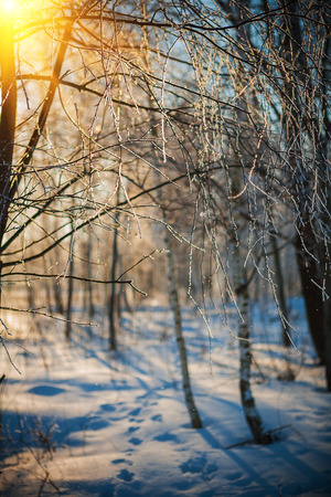 Frosted twigs of birch tree in winter forest at sunset photo