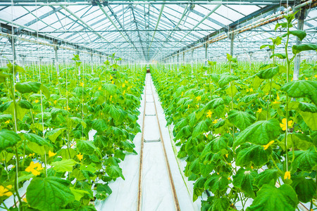 growing of cucumber in greenhouse Stock Photo