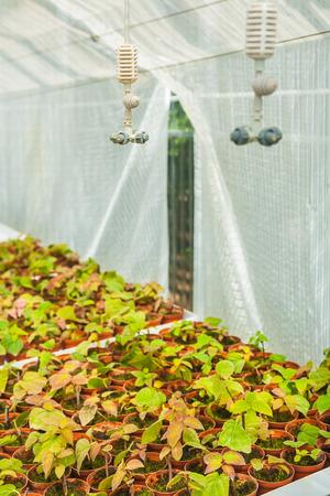 growing of seedlings in greenhouse photo