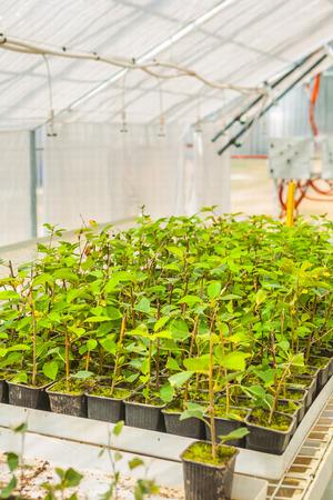 plum tree seedlings in greenhouse photo