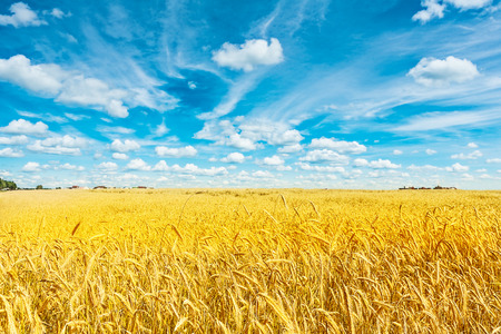 colourful sky: field of golden wheat and cloudy sky
