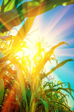 corn field: Translucent sun through plants of corn