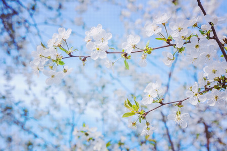 cherrytree: view on the branch of blossoming cherrytree on background blue sky instagram stile