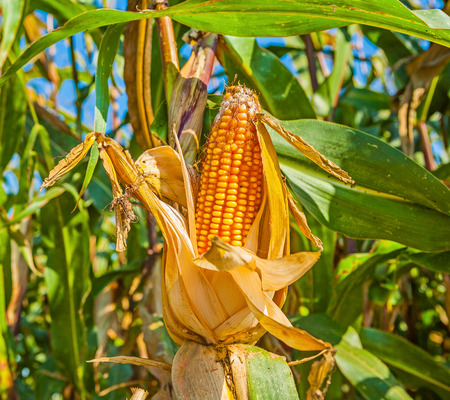 non cultivated: ear of ripe corn on beauty blurred background Stock Photo