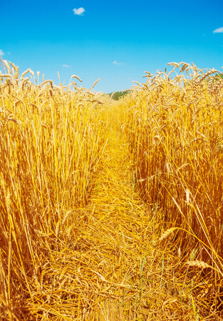 non cultivated: view on beauty ripe golden wheat