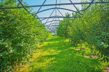 non cultivated: view through rows of plum trees in greenhose Stock Photo