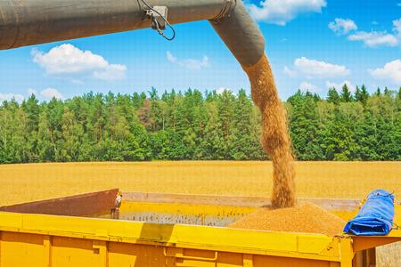 cosechadora: granos de trigo que vierten de tuber�a de cosechadoras en campo en Foto de archivo