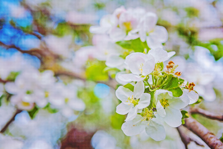 verry: blossom of apple tree  on verry blurred background