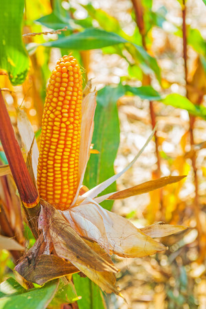 non cultivated: close up view ear of corn on plant and blurred background Stock Photo