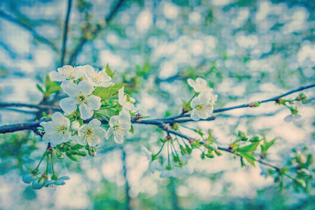 ins: little branch of cherry tree on blurred background close up  ins Stock Photo