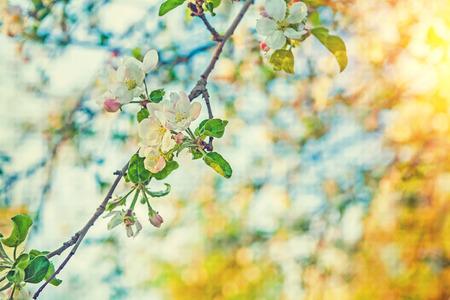 arbol de manzanas: rama de la floraci�n del manzano en muy borrosa