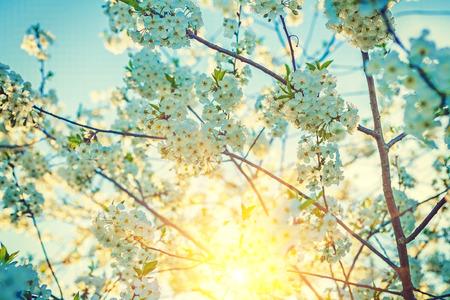 sunny day: vista soleado florecimiento floral cereza