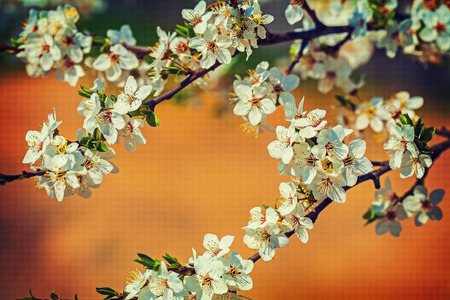 blossom of cherry tree  on blurreed colored background  photo