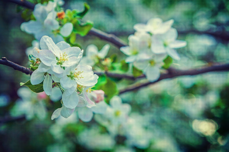 floral spring background white flowers of  blossoming apple tree photo