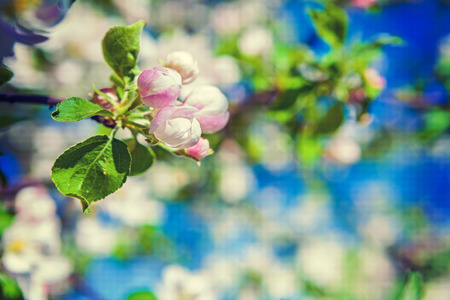 flor: little flowers of blossoming apple tree with blurred spring flor Stock Photo