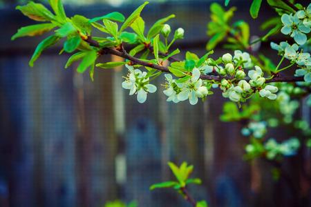 blossoming branch of cherry tree on dark background instagram st photo