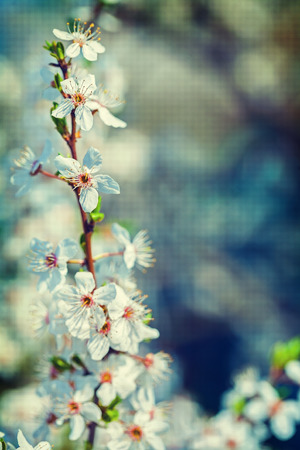 branch of blossoming cherry tree on blurred background instagram photo