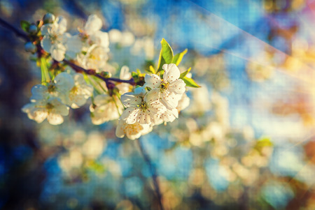 instagram: single small branch of blossoming cherry tree on sunrise floral