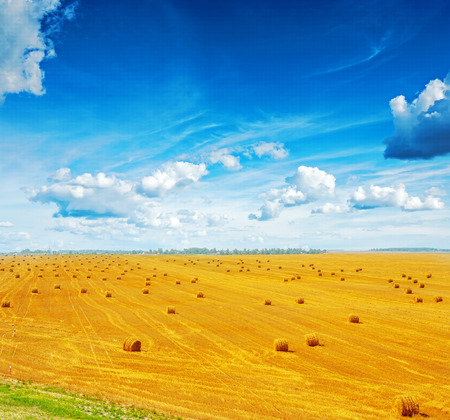 wheat field: view on harvested field of wheat with many bales  straw and beautiful blue sky