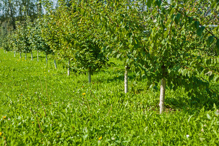 non cultivated: young apple trees in garden Stock Photo