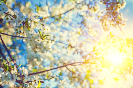 blurred people: blossom of cherry tree and translucent sun floral background ins