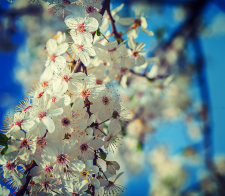 close up view: close up view on blossom of cherry tree Stock Photo