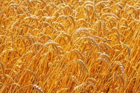 close up view: close up view on tops of wheat plants agricultural concept Stock Photo