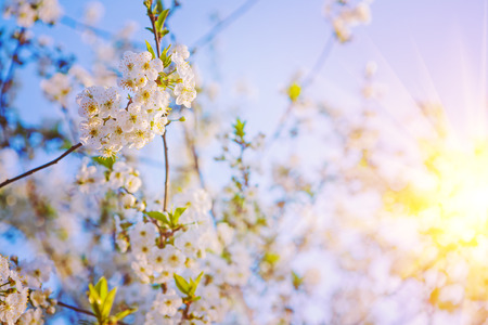 floral background sunshine blossom of cherry tree insagram sttil Stok Fotoğraf - 38313702
