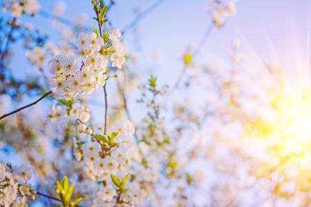 sol radiante: floral flor de fondo de la sol de la cereza insagram �rbol sttil