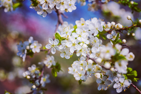 floral background white flowers of  cherry insagram sttile photo