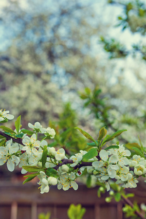 flowers of blossoming cherry tree insagram sttile photo