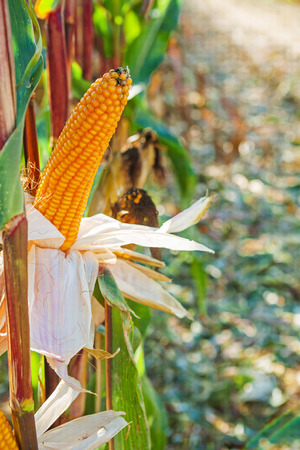 non cultivated: ears of maize corn
