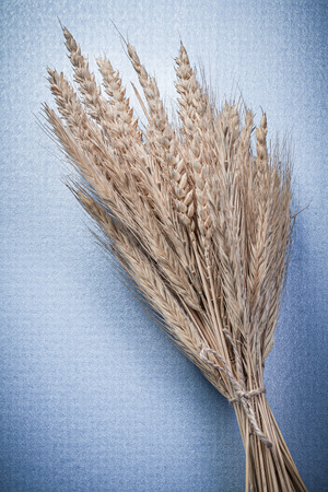 corded: Composition of corded wheat rye ears on blue background. Stock Photo