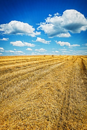 view on harvested field of wheat with cloudy sky. Stok Fotoğraf