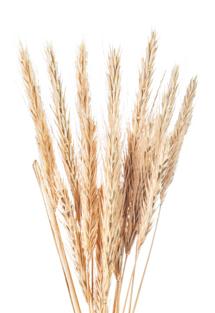 Ripe wheat and rye ears isolated on white.