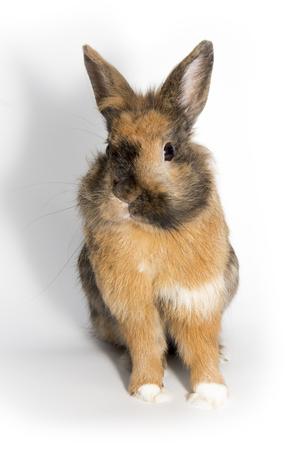 fluffy: Brown Rabbit Fluffy Bunny