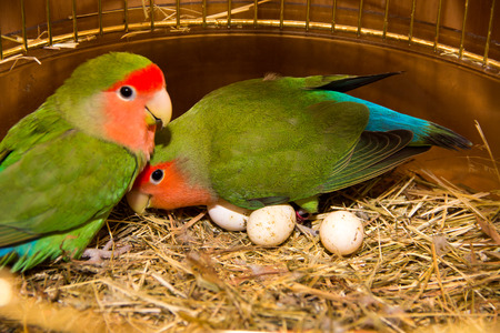 loros verdes: two beautiful green parrots lovebirds agapornis in gold cage having eggs Foto de archivo