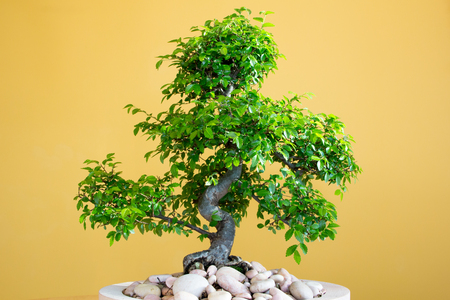 art form using trees - green lush Bonsai Ulmus parvifolia - untrimmed in spring Third picture of four Stock Photo