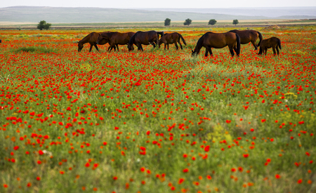 Poppy field, Almaty region, Kazakhstan Stock Photo