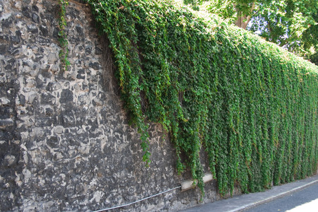 Stone wall decored with green ivy plant