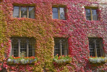wall ivy: Ivy pared de la casa con varias ventanas Foto de archivo
