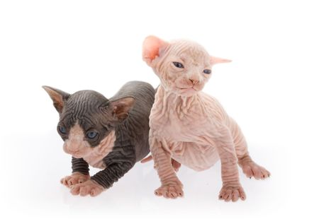 Two newborn sphinx kittens playing together photo