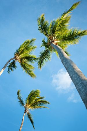 Coconut palms under blue Caribbean sky on summer day photo