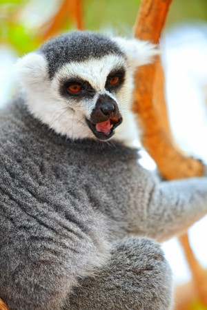 fussy: Closeup portrait of lemur on a tree on Canary Islands