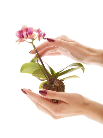 Hands protecting mini orchid over isolated white background photo