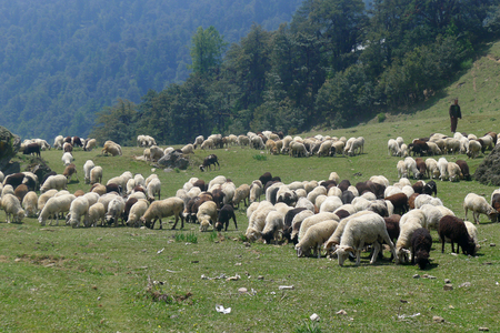 Sheep grazing in the meadows in the Himalayas